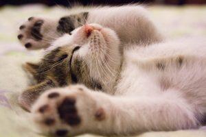 EIn Kitten liegt auf dem Rücken, Vorderpfoten weggestreckt und schläft