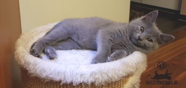 Eden, eine kleines,echtes Kartäuser Katzenmädchen