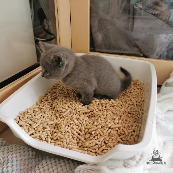 der erste Katzentoilette des blauen Kitten
