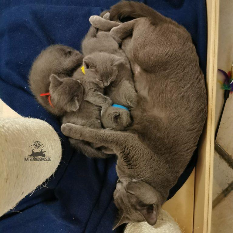 5 Wochen alte Kitten bei Mutti Emilia