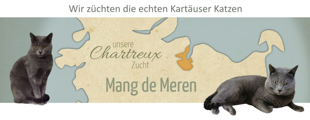 Chartreux Cattery - Mang de Meren