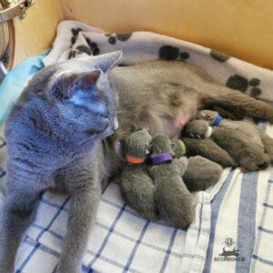 Chartreux Mang de Meren - Kitten alle zufrieden
