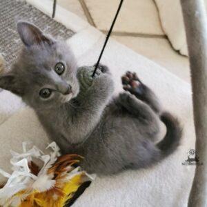 Chartreux Mang de Meren - Kitten am spielen