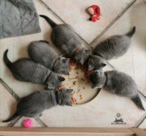 Chartreux Mang de Meren - Kitten fressen Fleisch