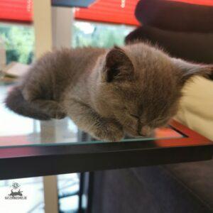 Chartreux Mang de Meren - Kitten schläft auf Glastisch