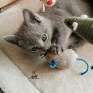 Chartreux Mang de Meren - Kitten und die Maus