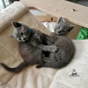 Chartreux Mang de Meren - Little fighting kitten
