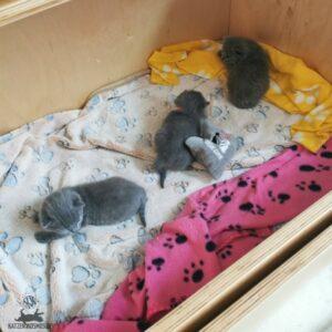 Mang de Meren_Kitten 2,5 Wochen alt