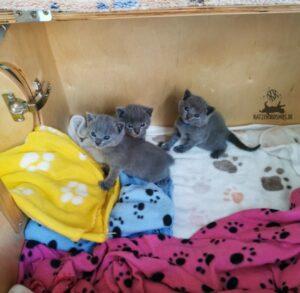 Mang de Meren_Kitten 3 Wochen alt