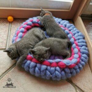 Mang de Meren_Kitten 6 Wochen alt