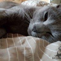Ciara =Kartäuser Katze und Schmusekatze