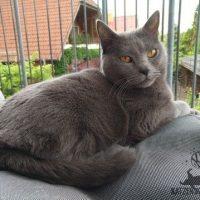 Ciara (Kartäuser Katze) im Ausguck auf dem Balkon