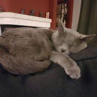 Ciara (Kartäuser Katze) schläft tief und fest auf der Rückenlehne des Sessels