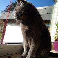 Collin (Kartäuser Kater) isitzt auf dem Fensterbrett und schaut hinaus: Katzenkino