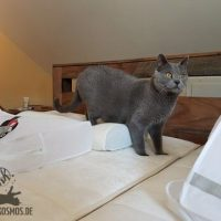 Collin (Kartäuser Kater) hilft beim Bettwäsche wechseln