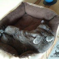 Collin (Kartäuser Kater) unbequem in Rückenlage schlafend