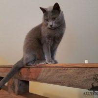 Collin (Kartäuser Kater) hoch oben auf der Rücklehne des Bettes