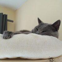 Collin (Kartäuser Kater) unter der Zimemrdecke - hoch oben in seinem Lieblingsbett