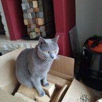 Collin (Kartäuser Kater) sitzt auf einem Karton voller Holz