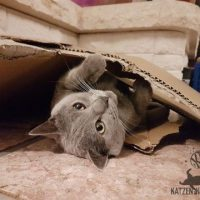 Collin (Kartäuser Kater) liegt unter dem Karton