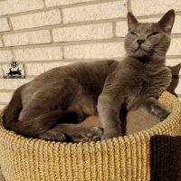 Kartäuser Katze Eden beim Sonnenbad