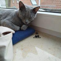 Kartäuser Katze Eden auf der Fensterbank