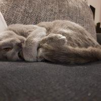 Kartäuser Katze Eden auf ihrem Lieblingsplatz dem Sofa