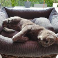 Kartäuser Katze Eden genüsslich im Körbchen