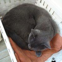 Kartäuser Katze Emilia im IKEA Körbchen